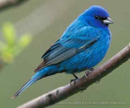 blue bird 50 seres inacreditavelmente azuis