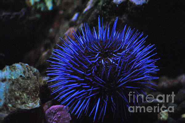 blue sea urchin frank larkin 50 seres inacreditavelmente azuis