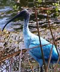 blue australian ibis thumb 50 seres inacreditavelmente azuis
