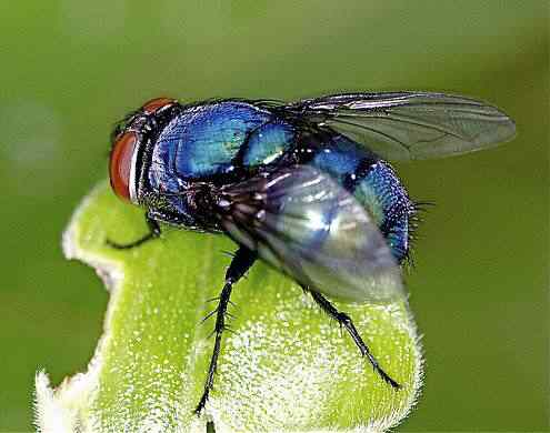 blue bottle fly on a leaf 14888 50 seres inacreditavelmente azuis