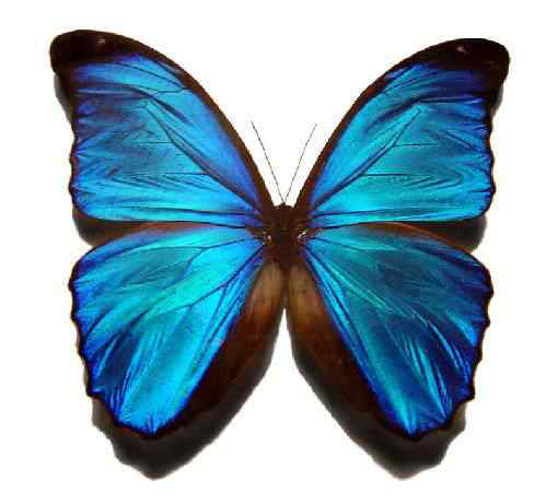 blue butterfly 9288 50 seres inacreditavelmente azuis