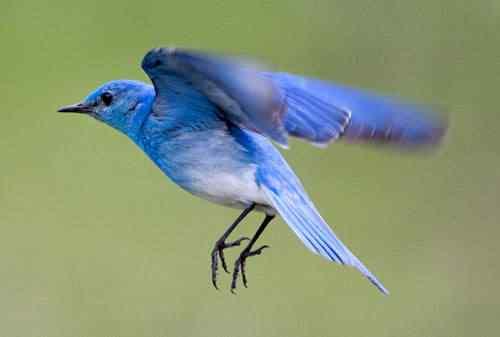 bluebird1 50 seres inacreditavelmente azuis