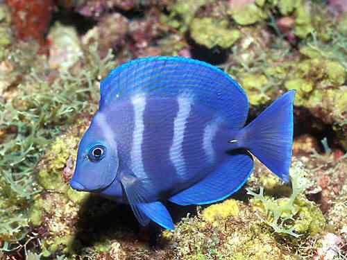 bluefish 50 seres inacreditavelmente azuis