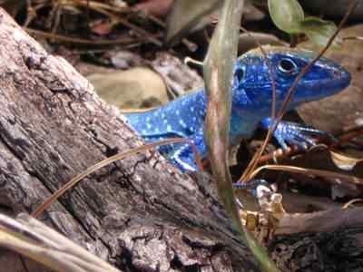 bluelizard 1 50 seres inacreditavelmente azuis