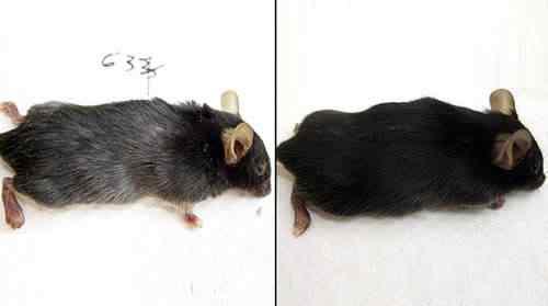 grey hair mouse O fim dos cabelos brancos se aproxima, galopante