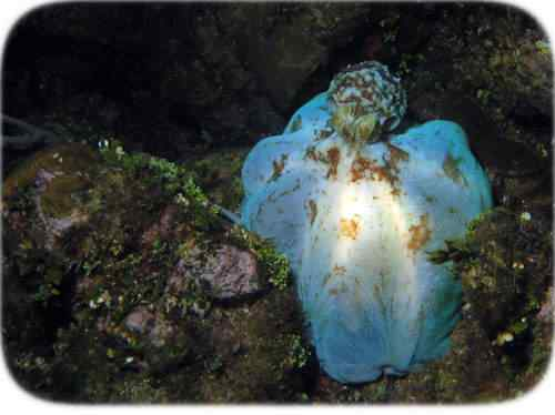 octopus hiding blue 2 50 seres inacreditavelmente azuis