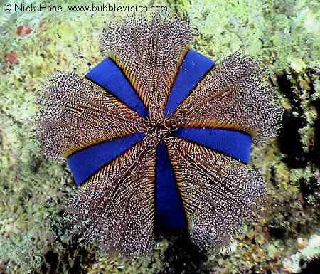 sea urchin 50 seres inacreditavelmente azuis