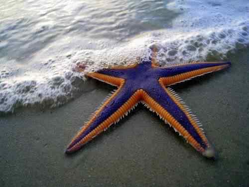 starfish 50 seres inacreditavelmente azuis