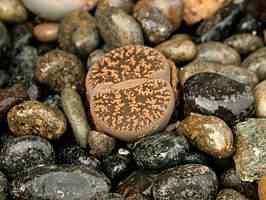 lithops sp As estranhas plantas pedra