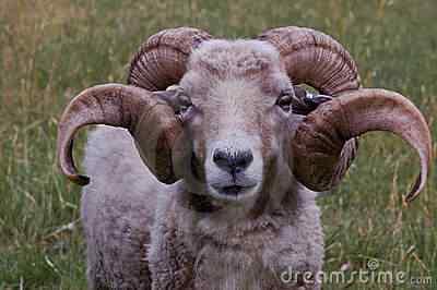 a ram with nice horns thumb16013472 Os animais com os chifres mais legais do mundo