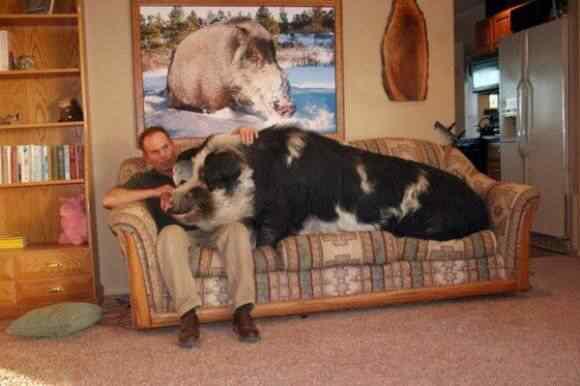 580x386 20 obese animals 4c93609786bae Cachorros, gatos e animais obesos