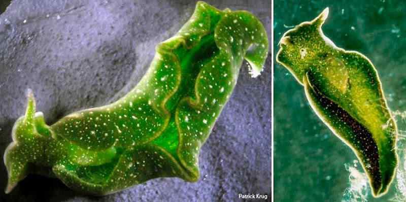 b6 Será animal ou planta? Um bicho bizarro que faz fotossíntese!