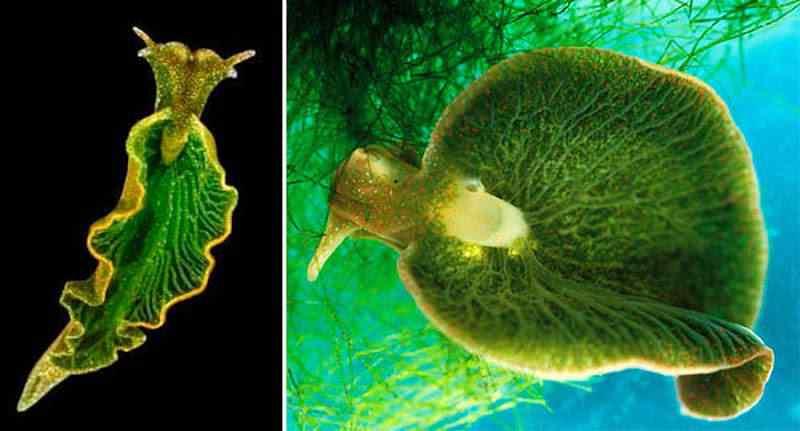 minhoquinha Será animal ou planta? Um bicho bizarro que faz fotossíntese!