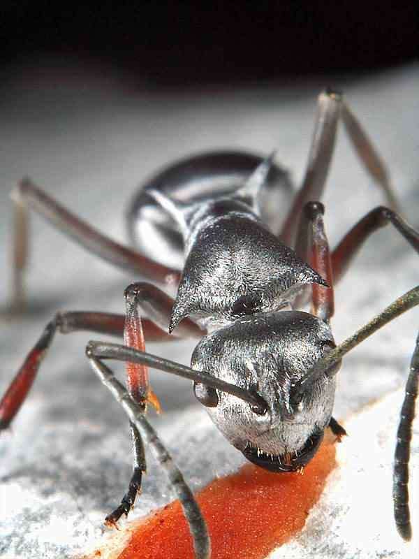 silver ant img 8958 Os Incríveis animais prateados