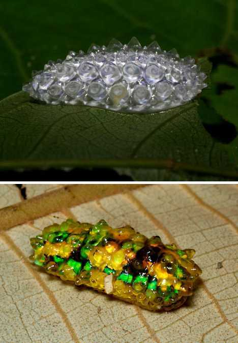 20120531091104202 A bizarra mariposa peluda mexicana