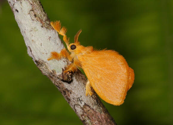 moth 5694 001a A bizarra mariposa peluda mexicana