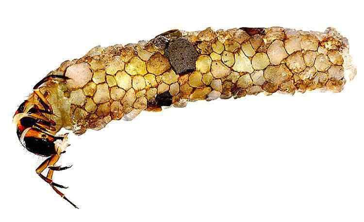 Caddisfly Larva 2 Jóias feitas por insetos