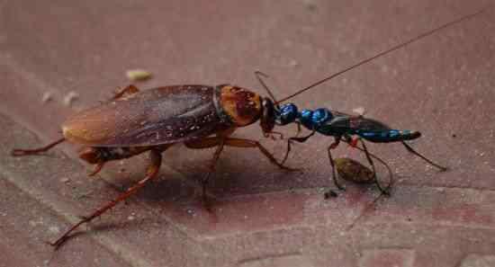 jewel-wasp-cockroach-550x297