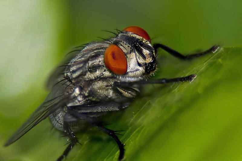 moscadetalhada