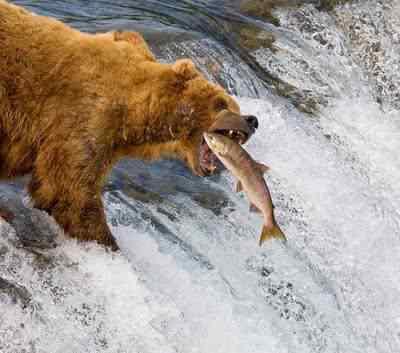 bear salmon 1512414i Não tem pra onde correr: Desmistificando o saudável