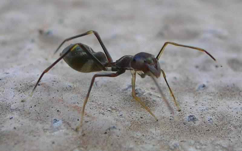 800px-Ant_Mimic_Spider