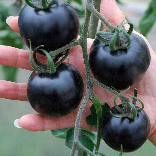 black tomatoes Tomate preto: Você encara?