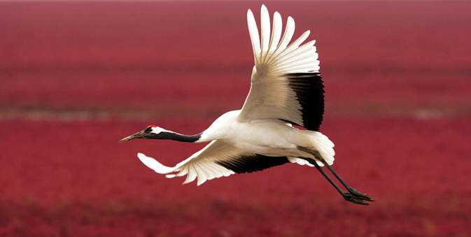 red beach and red crowned cranes As praias cor de sangue na China