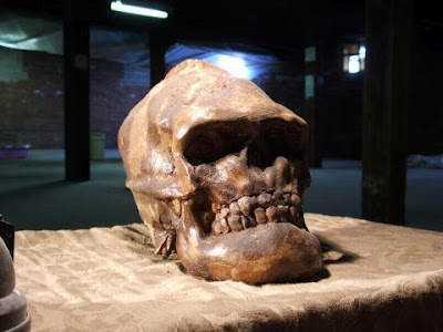 bigfootskull Crânios bizarros   Encontrado o crânio do pé grande?
