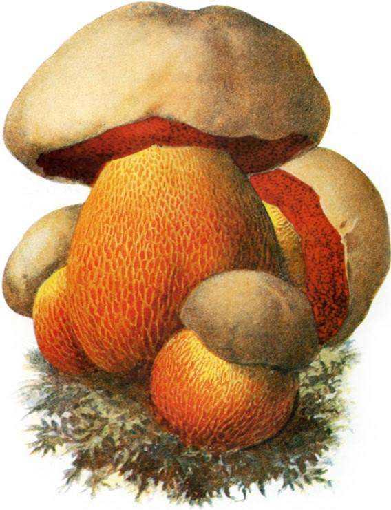 cogu1 Cogumelos comestíveis e venenosos: Aprenda a diferenciar