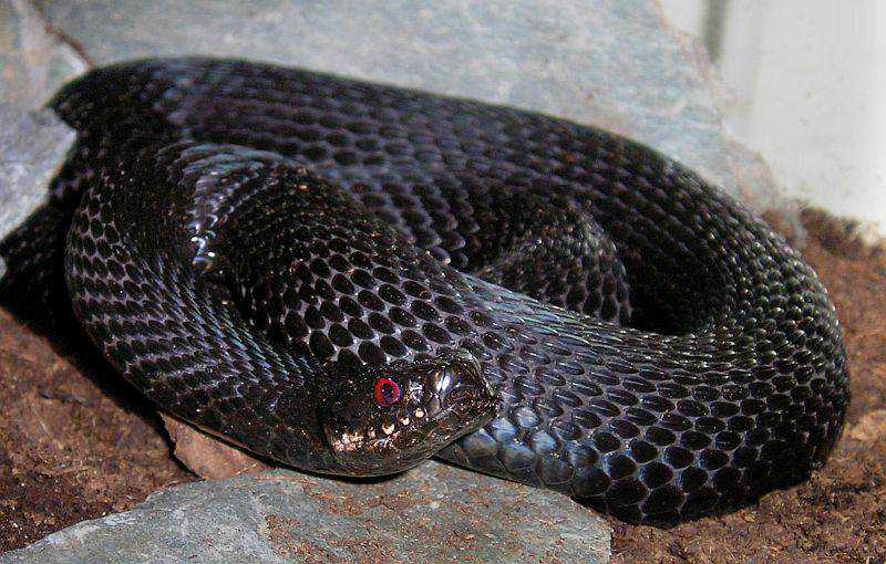 180877 Incríveis animais pretos