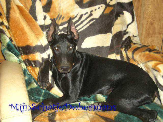 GW640H480 Incríveis animais pretos