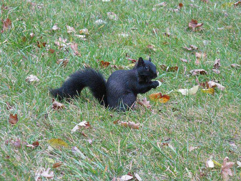 Sciurus Melanistic Squirrel Nebraska 3716 Incríveis animais pretos