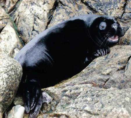 a98232 melanistic 10 seal Incríveis animais pretos