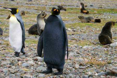 a98232 melanistic 5 penguin Incríveis animais pretos