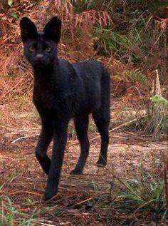 d123034a029513004ce9230c47ece72b Incríveis animais pretos