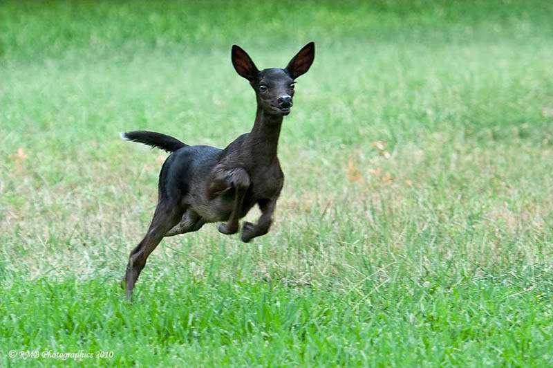 melanistic black fawn Incríveis animais pretos
