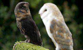 thumb melanistic owl1 Incríveis animais pretos