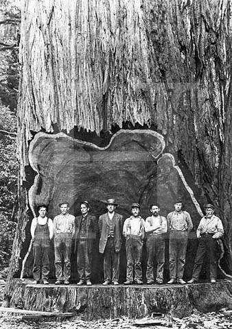 a6179e5d67aa3ff7022f91a129d576f8 Madeireiros cortam acidentalmente a árvore mais antiga do mundo na Amazônia