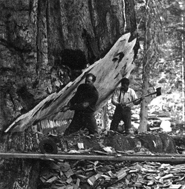 cf4a4da9c35c3d274bedb6894d08eeca Madeireiros cortam acidentalmente a árvore mais antiga do mundo na Amazônia