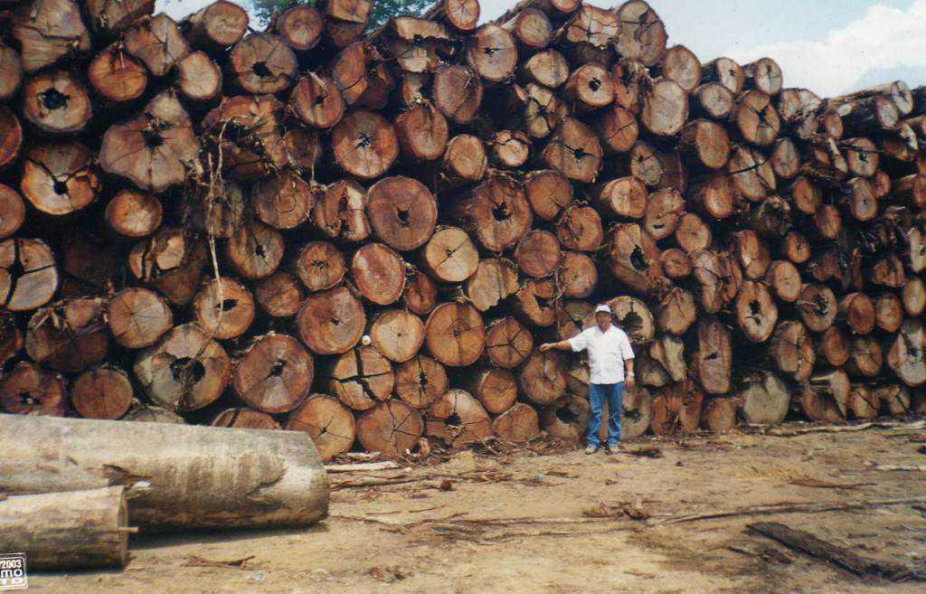 n madeireiras am 9149 1024x657 Madeireiros cortam acidentalmente a árvore mais antiga do mundo na Amazônia