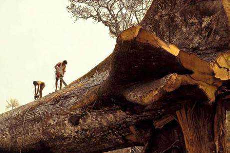 samaura 460x307 Madeireiros cortam acidentalmente a árvore mais antiga do mundo na Amazônia