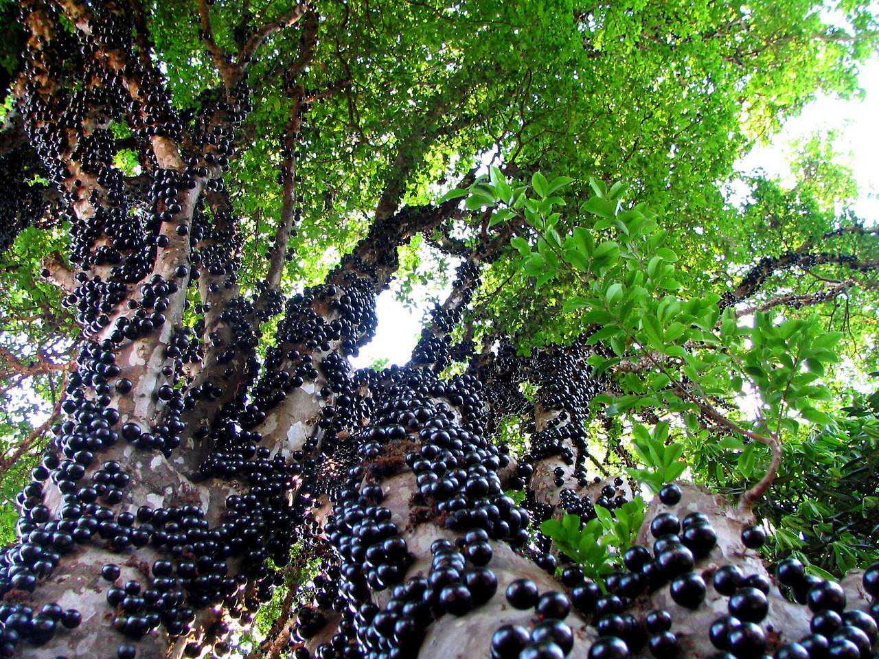 Most Beautiful Gardens 9 most weird exotic fruits Jaboticaba Frutas esquisitas