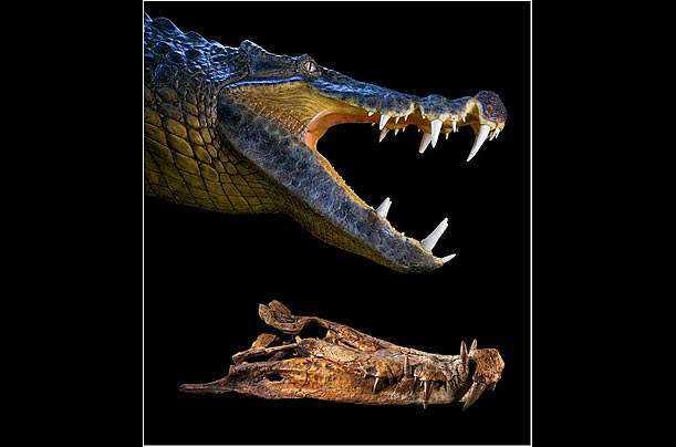 crocs 08b Crocodilo gigante