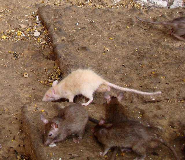 4815087912 b95047c88f z1 O bizarro homem comedor de ratos