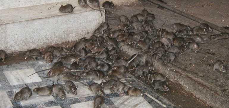 Ratos infestacao O bizarro homem comedor de ratos