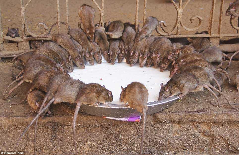 article 2566748 1BC8E01700000578 216 964x628 O bizarro homem comedor de ratos