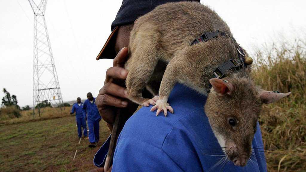 gty hero rats 131217 16x9 1600 1024x576 O bizarro homem comedor de ratos