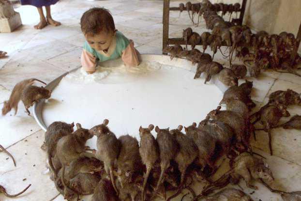 karni mata 11 622x415 O bizarro homem comedor de ratos