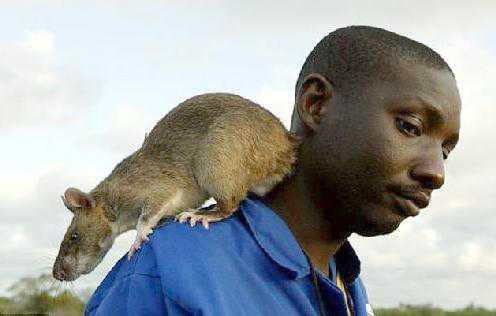 large african rat2012 med wide O bizarro homem comedor de ratos