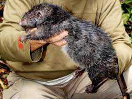 ratao O bizarro homem comedor de ratos